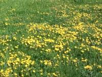 Dans un champ de fleurs jaunes se cache une coccinelle.