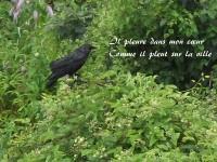 Un corbeau perché dans le feuillage, sous la pluie, contemple « Il pleure dans mon cœur ».