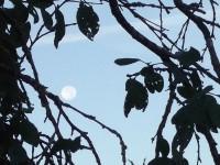 Sur le balcon d'une branche perdue dans un feuillage en ombre chinoise, la lune roule.