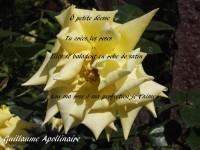 Cette image représente une rose jaune sur les pétales de laquelle on peut lire : « Ô petite déesse Tu crées les roses Elles se baladent en robe de satin Lou ma rose ô ma perfection je t'aime » Et le nom de l'auteur en bas à gauche : Guillaume Apollinaire.